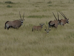 A family of gemsbok (oryx gazelle). Gemsbok are large antelopes characterized by their long, spear like horns; Etosha Park