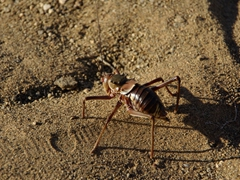 An armored corn cricket saunters across our campground; Naute Bush Camp