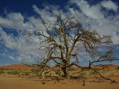 A massive tree stands out in Sossusvlei