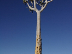 A solitary tree grows tall; Fish River Canyon