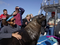 A large male fur seal makes himself comfortable on Becky's lap; Walvis Bay