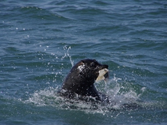 A fur seal plays with a fish before devouring it; Walvis Bay