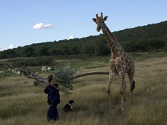 An adopted giraffe follows its caretaker for feeding time; Camp Otjitotongwe
