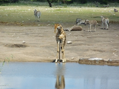 A giraffe prepares to drink from a watering hole while zebras lounge nearby; Etosha