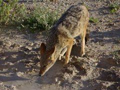 A silver backed jackal sips from a muddy puddle; Etosha