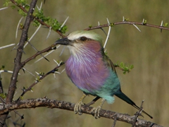 A beautifully hued lilac breasted roller catches our eye in Etosha Park