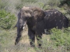 An old, male elephant grazes the afternoon away; Etosha