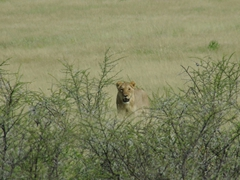 A lion stealthily makes its way towards a watering hole; Etosha Park