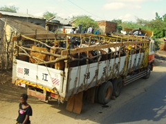 Cows transported in a Chinese truck