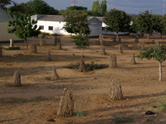 Tree saplings are protected with a makeshift stick fence to prevent animals from making a meal out of them