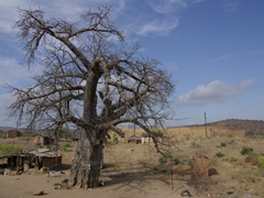 Massive baobab trees are used as makeshift stores, jails, or storage facilities