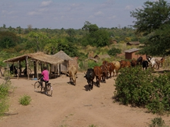 A boy manages to ride in front of a herd of cattle as they seek a suitable grazing area