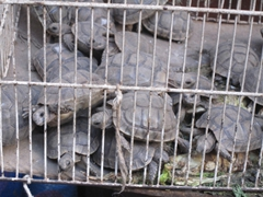 Poor little turtles for sale; Fes