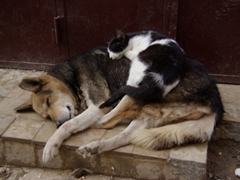 A cat snoozing atop a dog in a picture of contentment; Fes medina