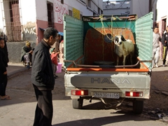 "A sheep being led to slaughter; day before ""Eid-al-Adha"" (the festival of sacrifice)"