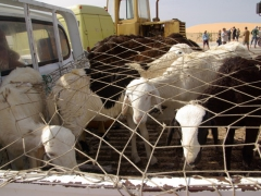 Sheep being transported on the back of a pickup truck, en route to Nouakchott