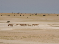 A desert mirage of a herd of camels