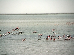 A flock of pink pelicans; Diawling National Park