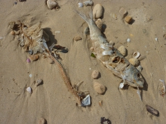 We found dozens of fish washed up on the shores of Nouadhibou's beaches, but the birds quickly pick their carcasses clean