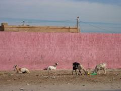 Goats munching through refuse; Nouadhibou