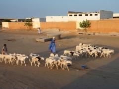 Shepherds guide their flocks down one of Nouakchott's main streets