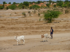 A young boy walks his cows to a nearby watering hole; near Diawling National Park