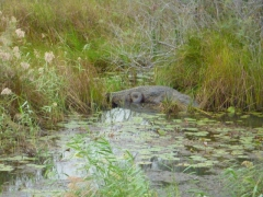 A glimpse of a crocodile in Diawling National Park