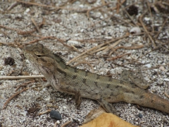 Sand colored lizard sunning on Deer island