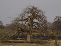 Massive baobab trees such as this one dotted the Mali countryside