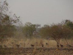 A large group of baboons scramble off into the countryside as our truck zooms on by