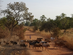 Cattle crossing the road take precedence on the secondary roads