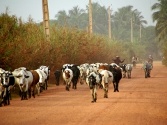Herding the cows home; Ouidah