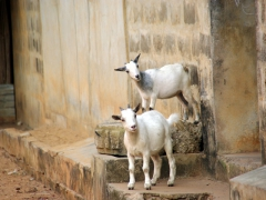 These pigmy goats were head butting one another but took a brief pause to pose for a photo; Ouidah