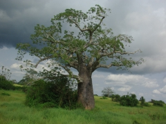 A baobab tree in the countryside as storm clouds threaten to pummel us with rain