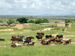 Huambo cattle herder