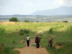 A young cattle herder walks his cows across a field