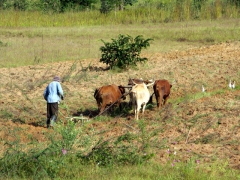 An Angolan farmer plows his field using his trusty cattle