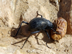 A dung beatle attacks a sweet date; Idaren Valley