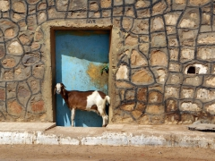 A goat scampers into this doorway in an effort to get off the road; Bordj El Haoues