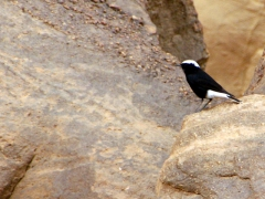 Tuaregs believe if you see this black and white desert bird, it will bring you good luck in your travels (we saw several of them in the Algerian Sahara)