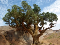 Becky climbs up an ancient cyprus tree; Jabbaren