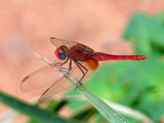 Detail of a red dragonfly; Tindjillet