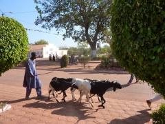 A shepherd guides his goats down one of Bobo-Dioulasso's main avenues