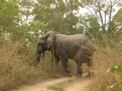 Elephant crossing the road in Mole National Park