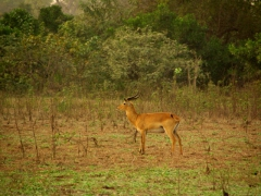 Bush buck at Mole National Park