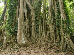 Ficus tree roots at Boabeng-Fiema monkey sanctuary