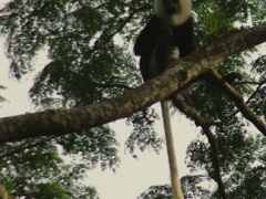 A white tailed Colobus monkey perched high in a tree at the Boabeng-Fiema monkey sanctuary