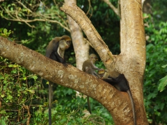 Mona monkeys playing in a tree at the Boabeng-Fiema monkey sanctuary