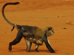 A mona monkey baby hugging its mother tight