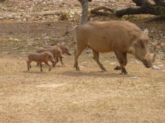 A trio of baby warthogs follow their mother; Mole National Park